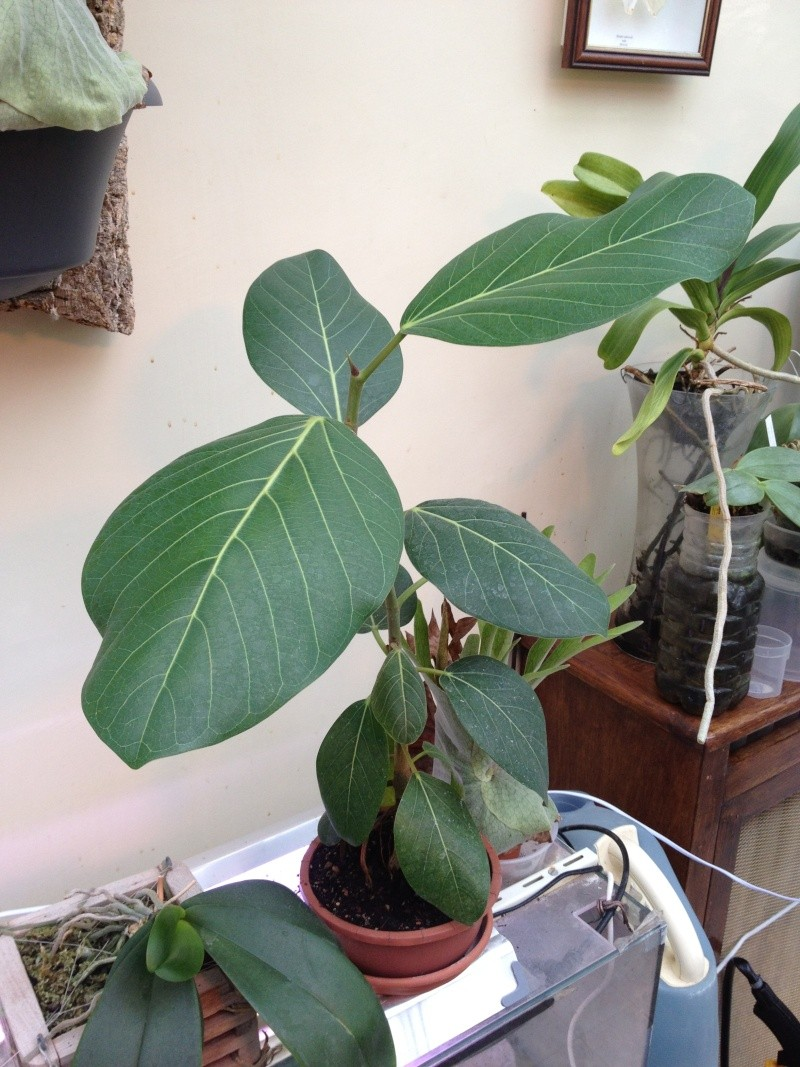 Ficus benghalensis Img_3416