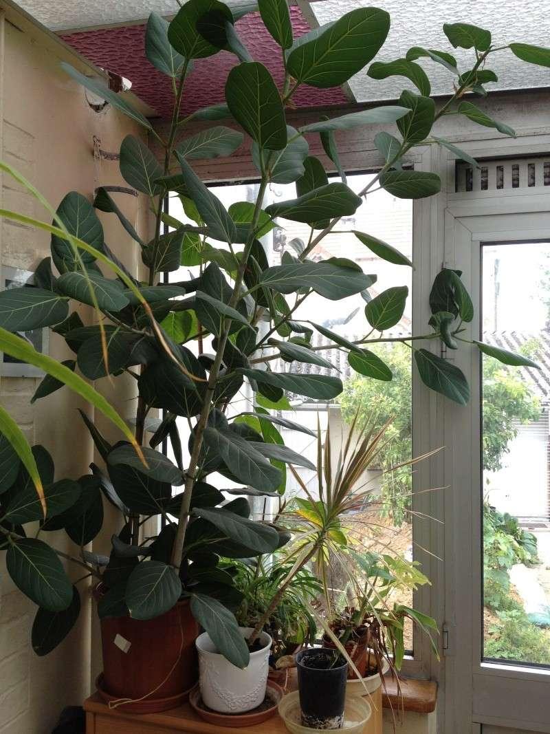 Ficus benghalensis Img_3417