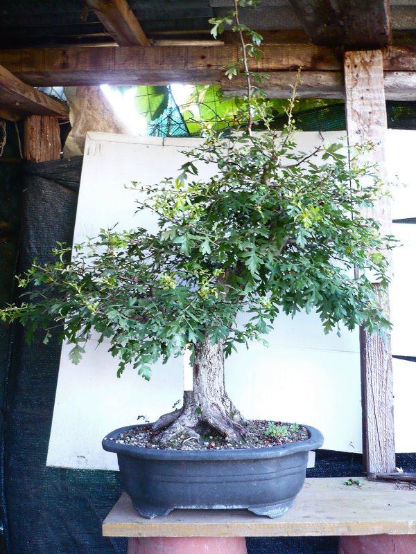 Un biancospino che diventa bonsai...... - Pagina 7 P1070815