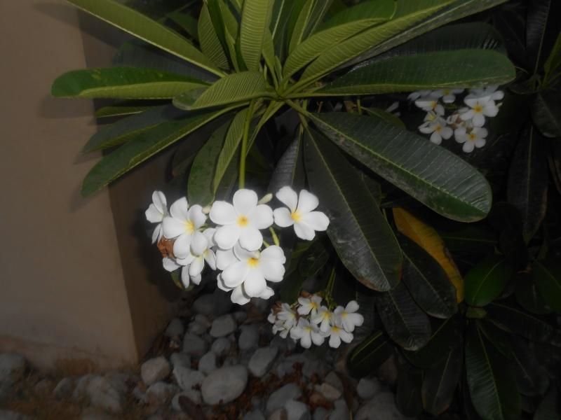 Plumeria in Dubai Dscn0610