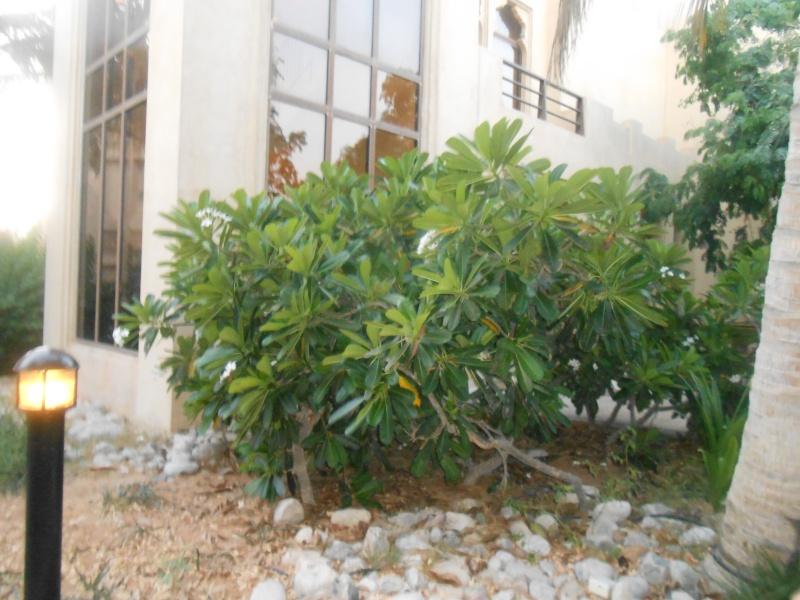 Plumeria in Dubai Dscn0611