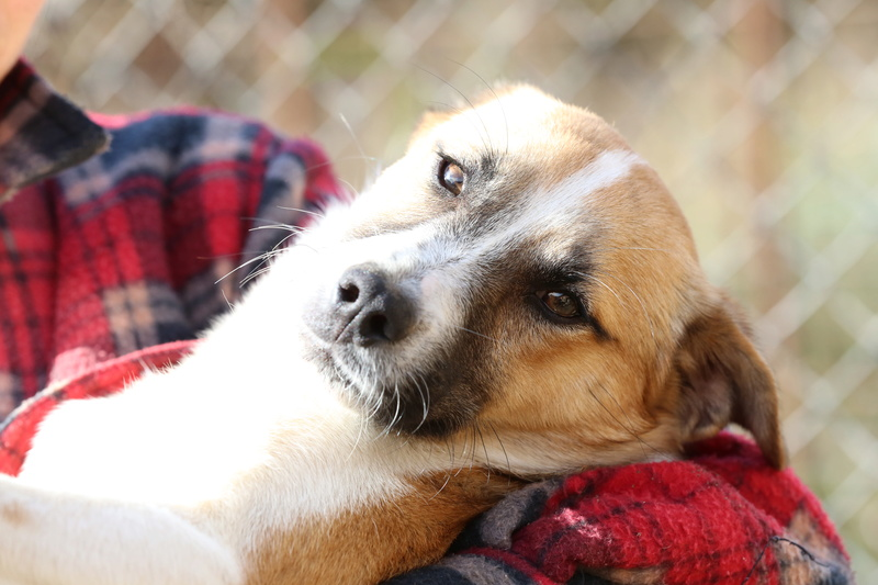 Snoopy, petit chiot joueur, né en mars 2016  Hx9a0210