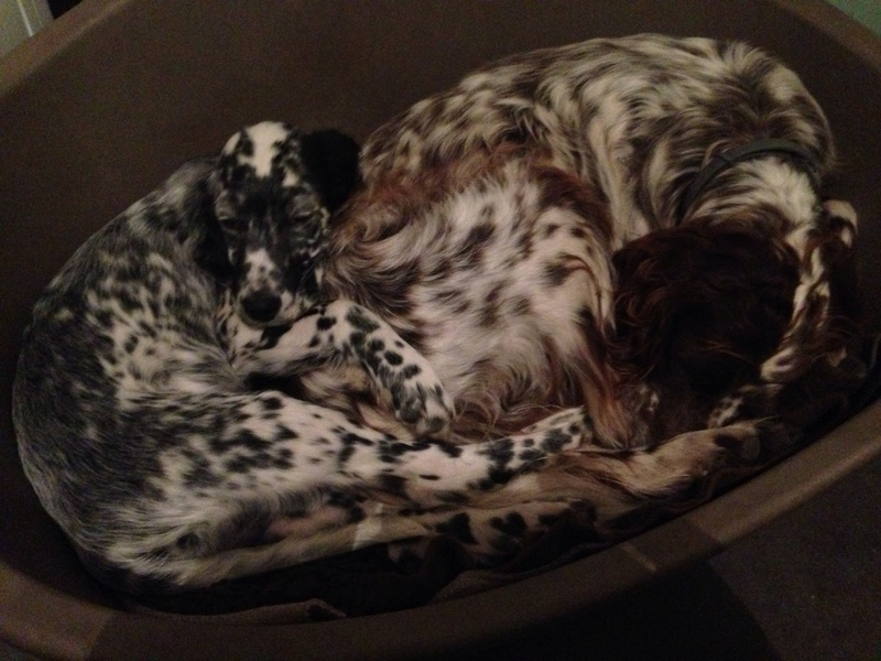 Ma nouvelle recrue , marley ... Setter blubelton . - Page 2 Image36