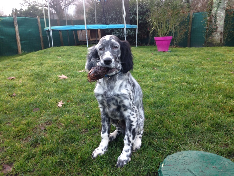 Ma nouvelle recrue , marley ... Setter blubelton . - Page 2 Image43