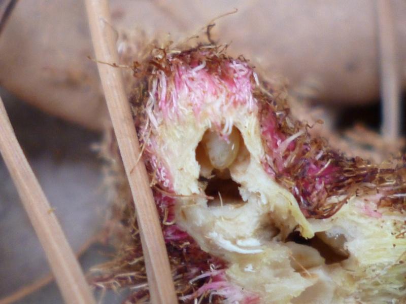 plante pompom -: parasite diplolepis rosae P1010220