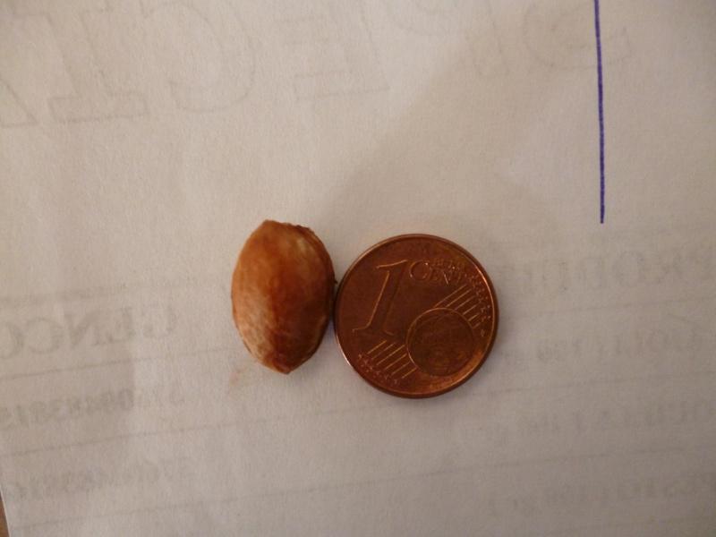 Myrobolan / Prunus cerasifera pissardii P1010222