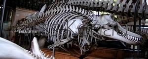[Atlas] Le squelette de l'orque Pict0310