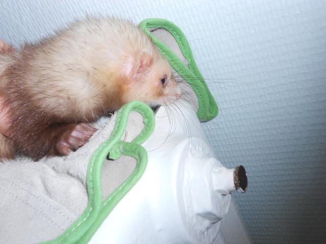 Choupette, femelle putoisée Dscn0814