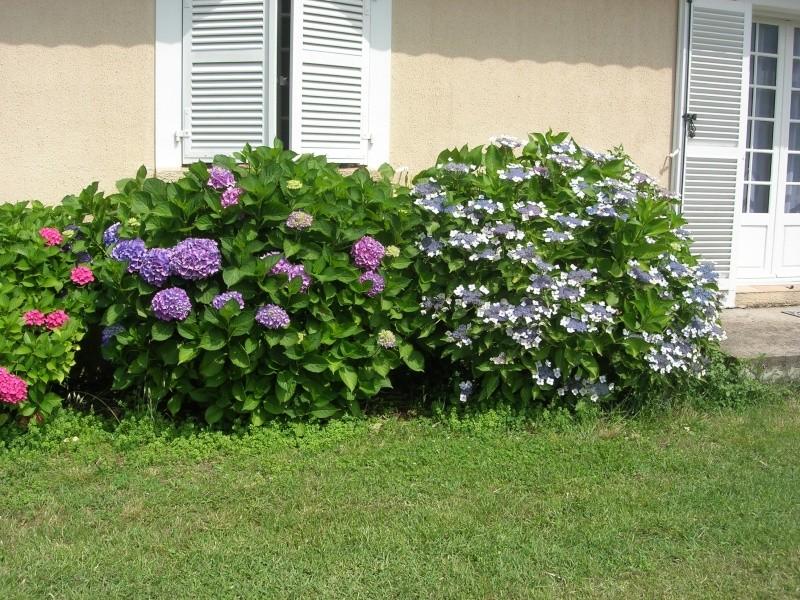 des hortensias bien bleus Dscn8210