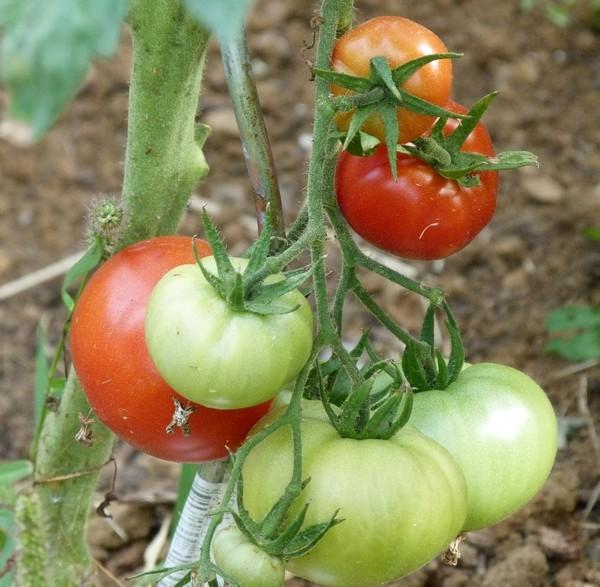 Tomates 2012 - Page 6 P1060321