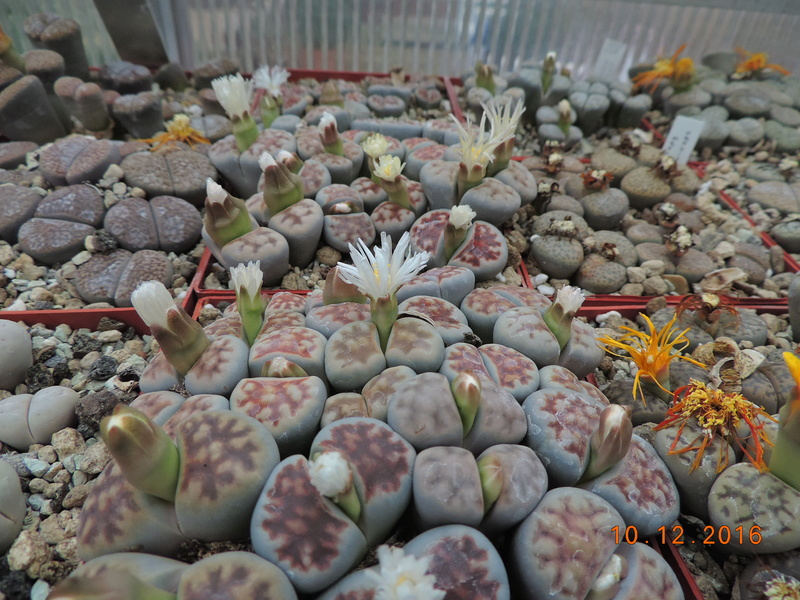 Cacti and Sukkulent in Köln, every day new flowers in the greenhouse Part 155 Bild1001