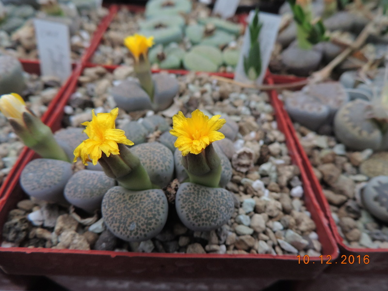 Cacti and Sukkulent in Köln, every day new flowers in the greenhouse Part 155 Bild1002