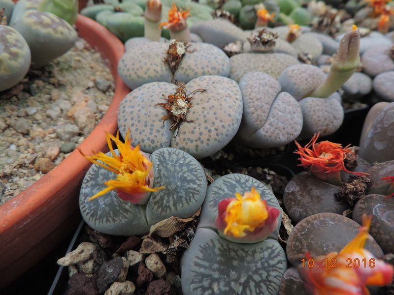 Cacti and Sukkulent in Köln, every day new flowers in the greenhouse Part 155 Bild1011