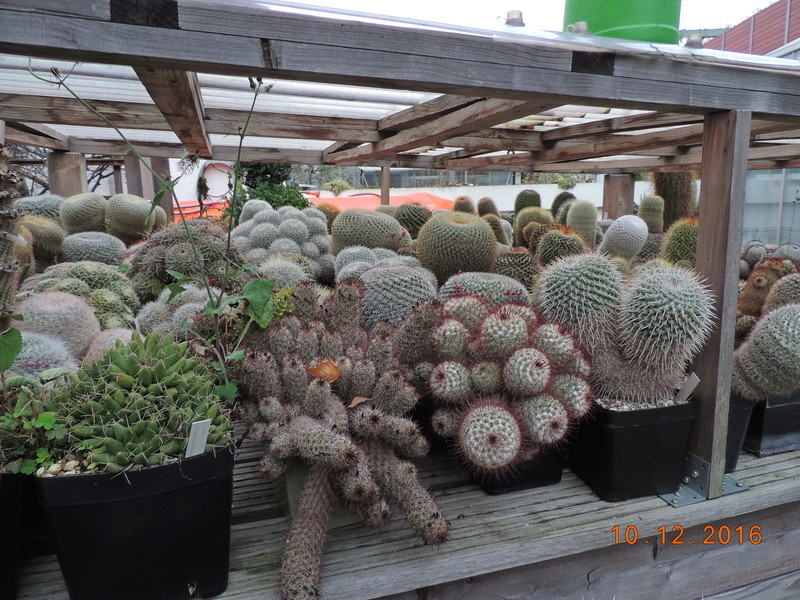 Cacti and Sukkulent in Köln, every day new flowers in the greenhouse Part 155 Bild1015