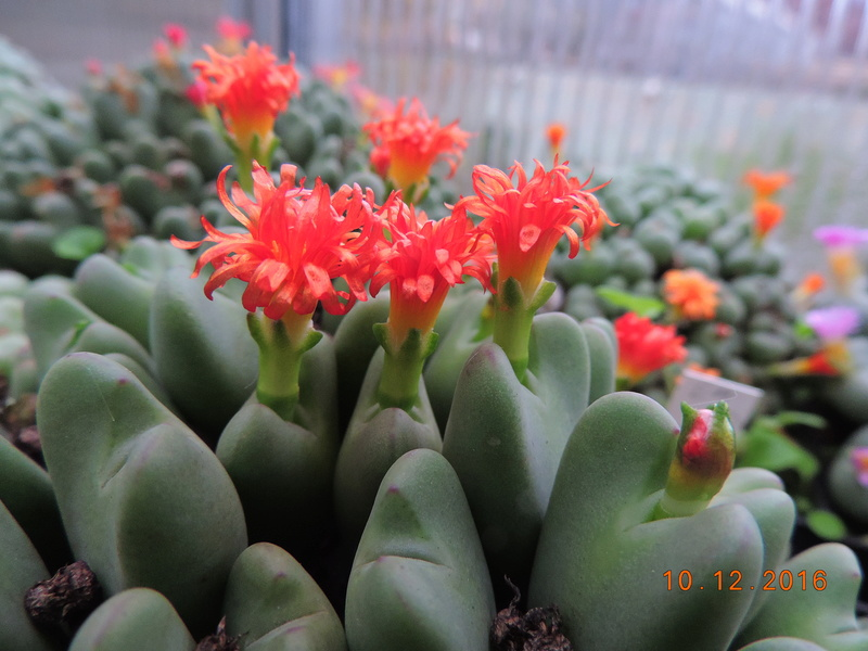 Cacti and Sukkulent in Köln, every day new flowers in the greenhouse Part 155 Bild1017