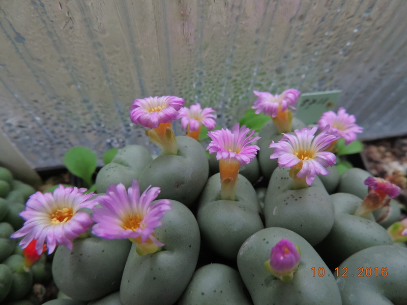 Cacti and Sukkulent in Köln, every day new flowers in the greenhouse Part 155 Bild1020