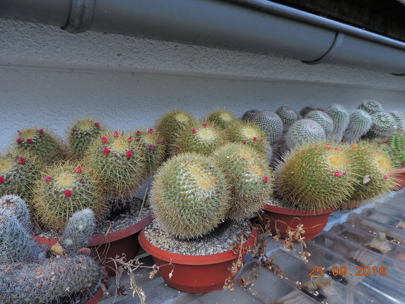 Cacti and Sukkulent in Köln, every day new flowers in the greenhouse Part 155 Bild1035
