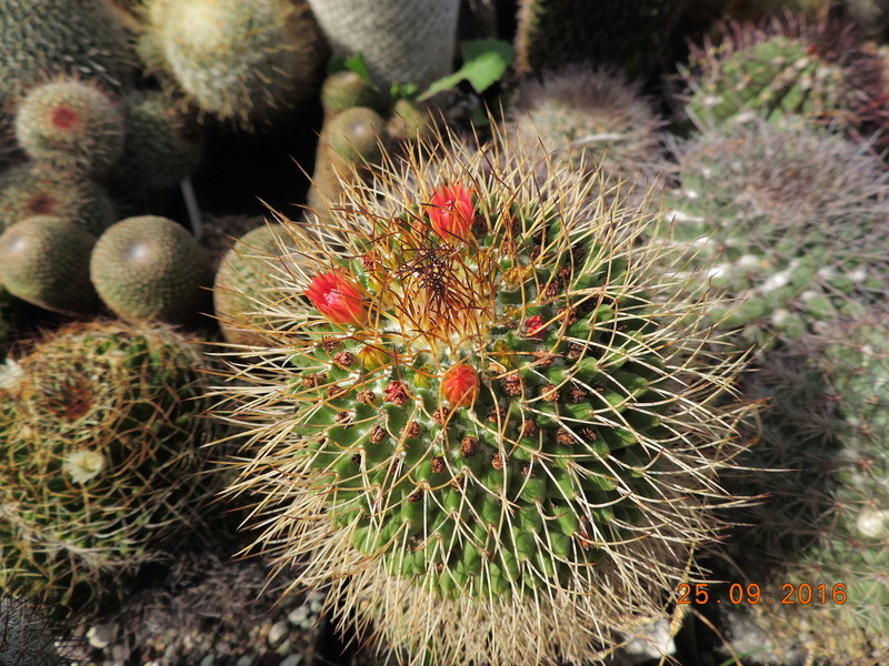 Cacti and Sukkulent in Köln, every day new flowers in the greenhouse Part 155 Bild1038