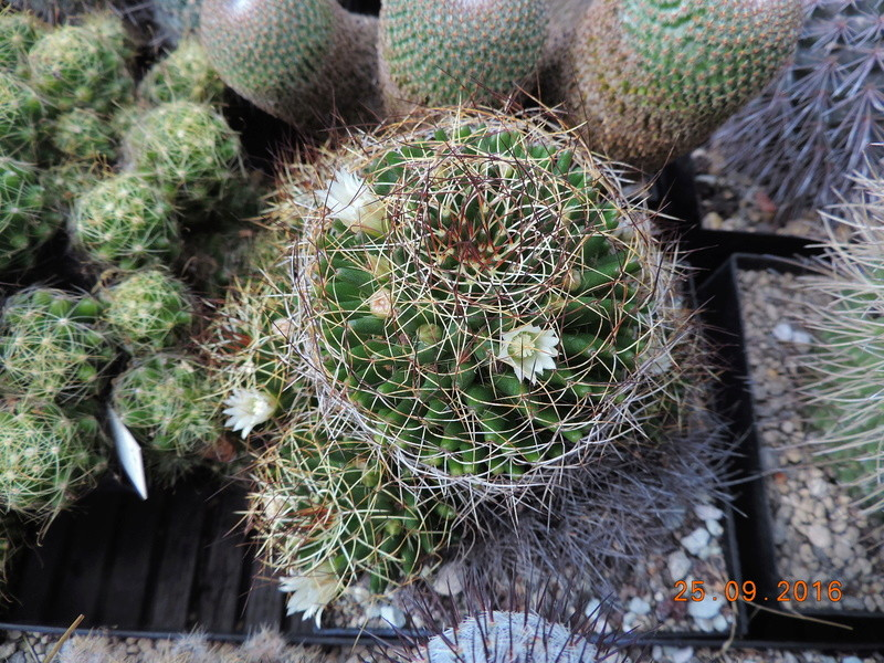 Cacti and Sukkulent in Köln, every day new flowers in the greenhouse Part 155 Bild1040