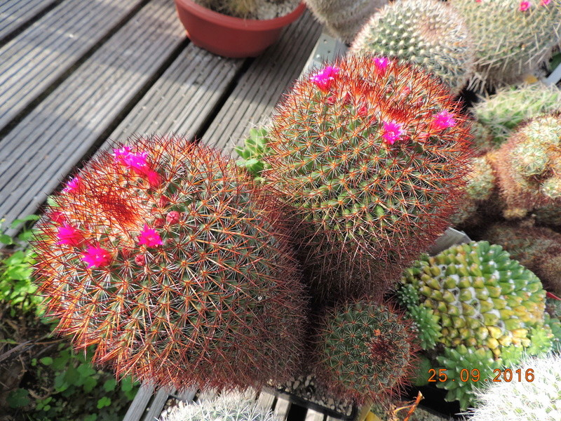 Cacti and Sukkulent in Köln, every day new flowers in the greenhouse Part 155 Bild1041