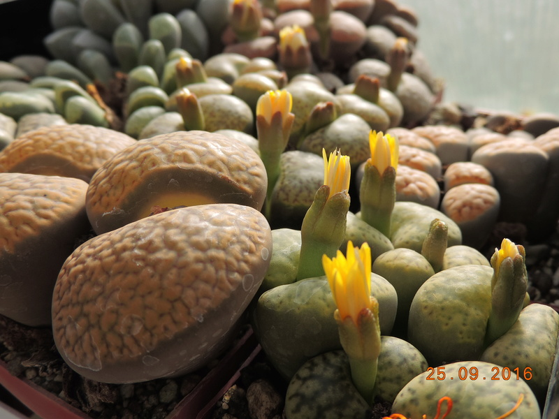 Cacti and Sukkulent in Köln, every day new flowers in the greenhouse Part 155 Bild1045