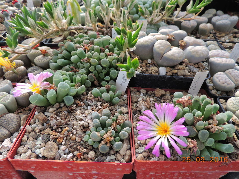 Cacti and Sukkulent in Köln, every day new flowers in the greenhouse Part 155 Bild1048