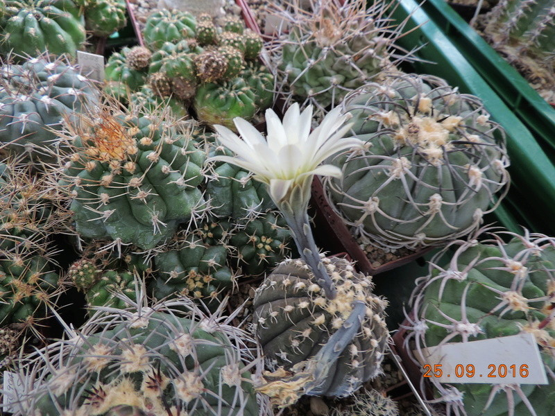 Cacti and Sukkulent in Köln, every day new flowers in the greenhouse Part 155 Bild1051