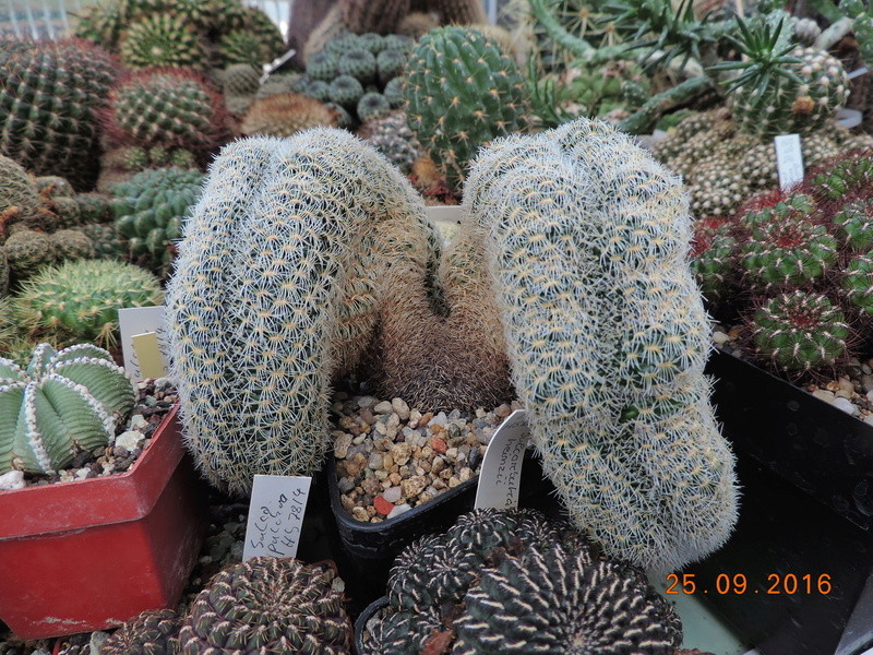 Cacti and Sukkulent in Köln, every day new flowers in the greenhouse Part 155 Bild1056