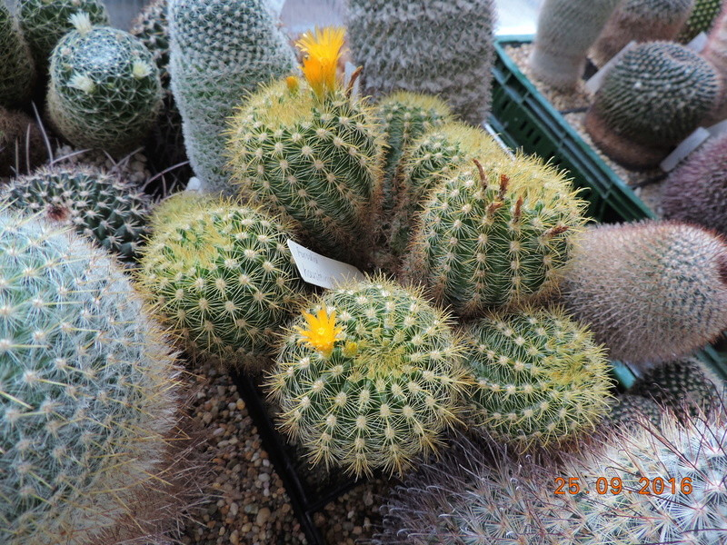 Cacti and Sukkulent in Köln, every day new flowers in the greenhouse Part 155 Bild1060