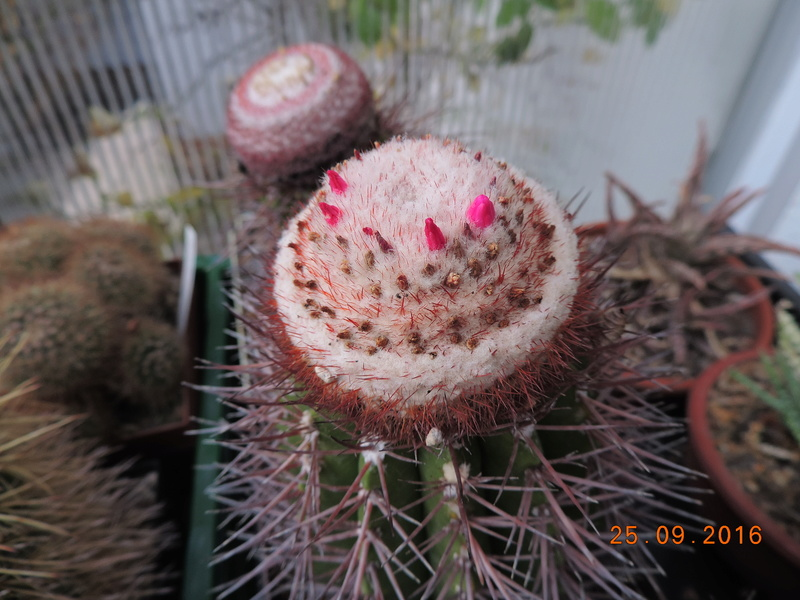Cacti and Sukkulent in Köln, every day new flowers in the greenhouse Part 155 Bild1062