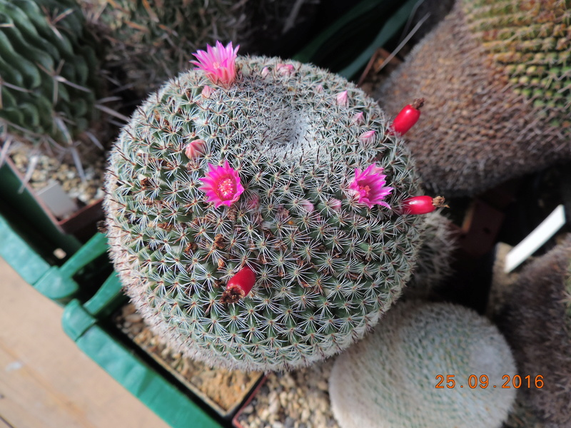 Cacti and Sukkulent in Köln, every day new flowers in the greenhouse Part 155 Bild1073