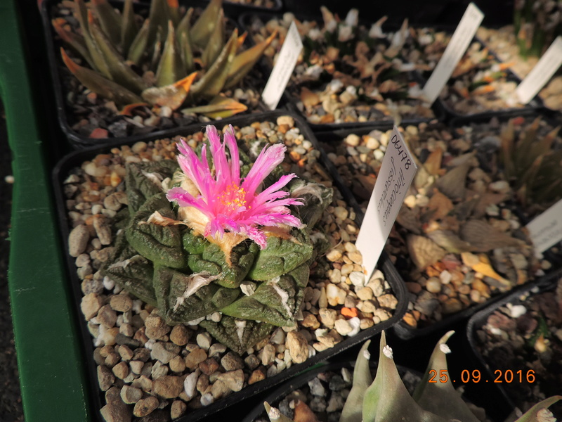 Cacti and Sukkulent in Köln, every day new flowers in the greenhouse Part 155 Bild1078