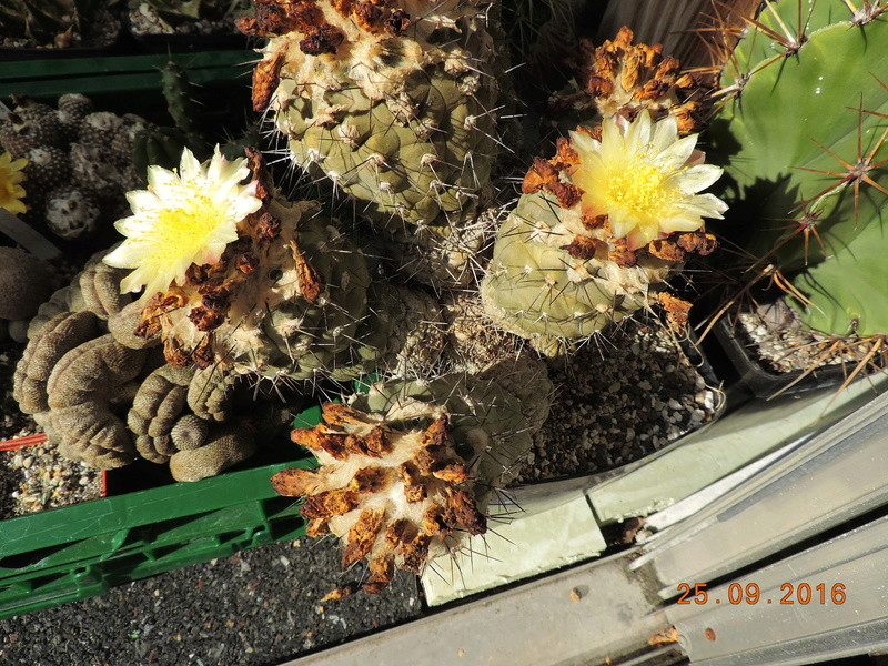 Cacti and Sukkulent in Köln, every day new flowers in the greenhouse Part 155 Bild1080