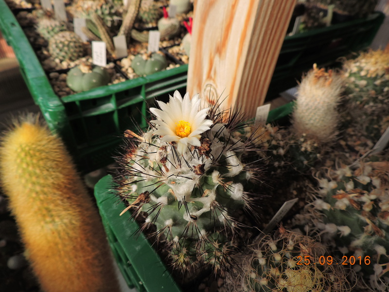Cacti and Sukkulent in Köln, every day new flowers in the greenhouse Part 155 Bild1082