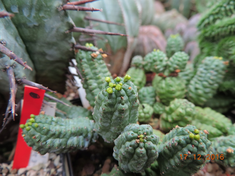 Cacti and Sukkulent in Köln, every day new flowers in the greenhouse Part 155 Bild1097