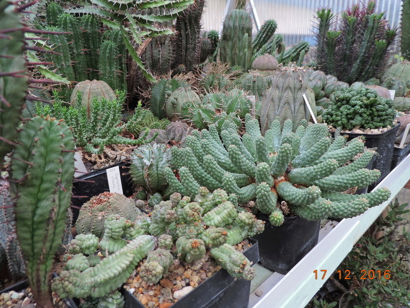Cacti and Sukkulent in Köln, every day new flowers in the greenhouse Part 155 Bild1101