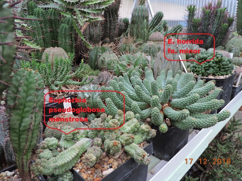 Cacti and Sukkulent in Köln, every day new flowers in the greenhouse Part 155 Bild1105