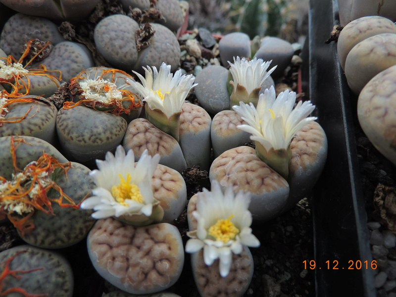 Cacti and Sukkulent in Köln, every day new flowers in the greenhouse Part 155 Bild1108