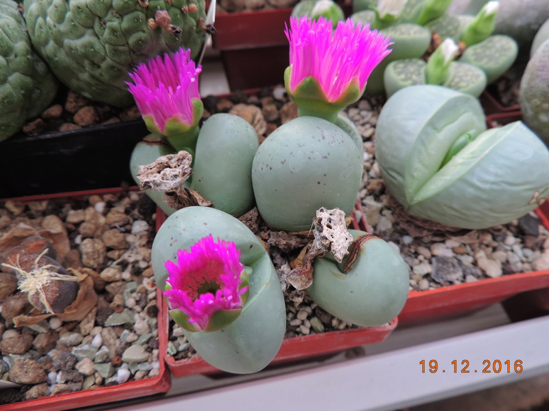 Cacti and Sukkulent in Köln, every day new flowers in the greenhouse Part 155 Bild1109