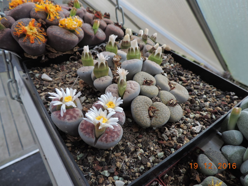 Cacti and Sukkulent in Köln, every day new flowers in the greenhouse Part 155 Bild1110