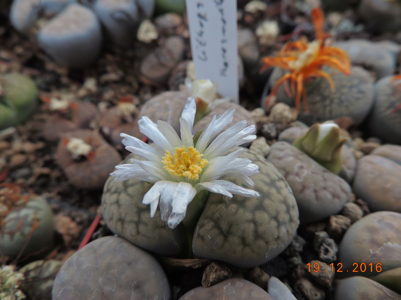 Cacti and Sukkulent in Köln, every day new flowers in the greenhouse Part 155 Bild1112