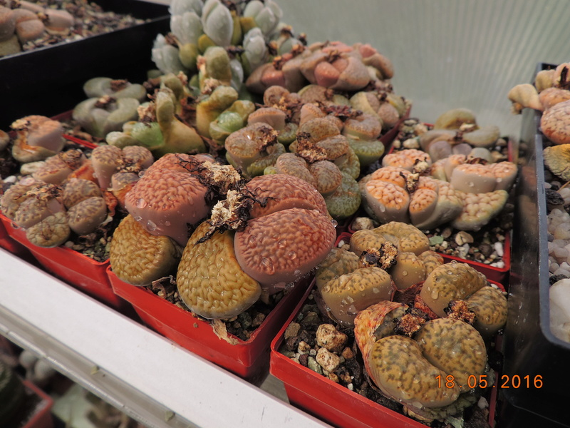 Cacti and Sukkulent in Köln, every day new flowers in the greenhouse Part 155 Bild1116