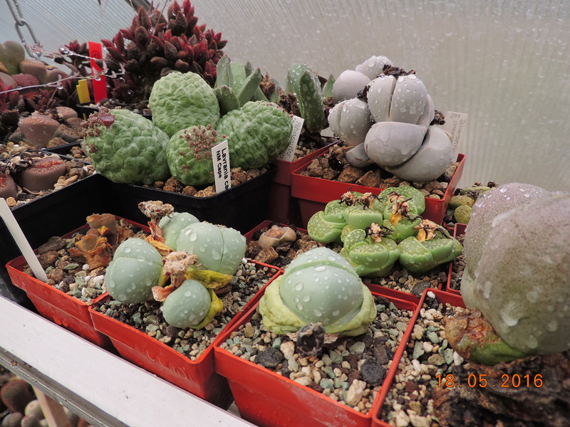 Cacti and Sukkulent in Köln, every day new flowers in the greenhouse Part 155 Bild1117