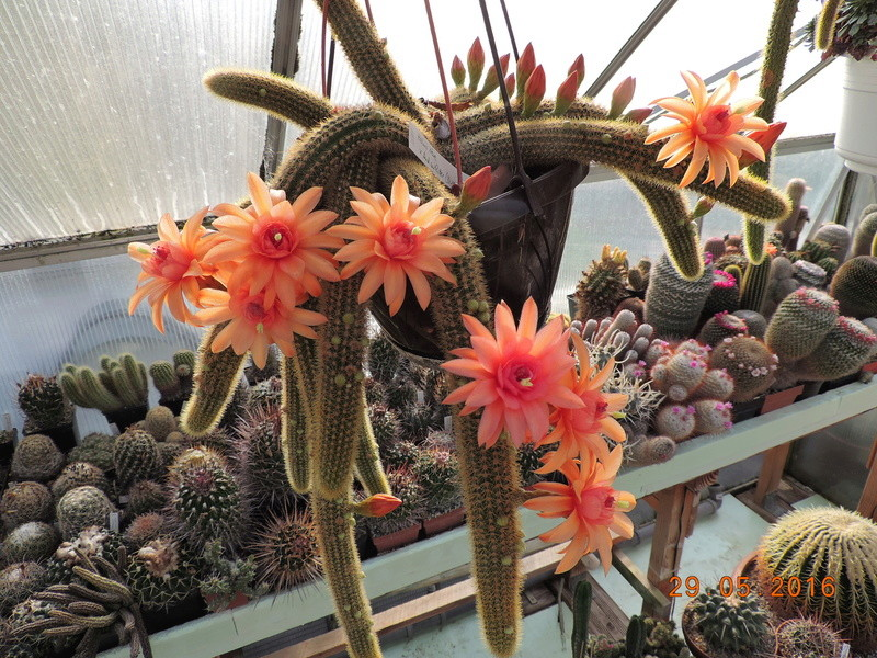 Cacti and Sukkulent in Köln, every day new flowers in the greenhouse Part 157 Bild1279