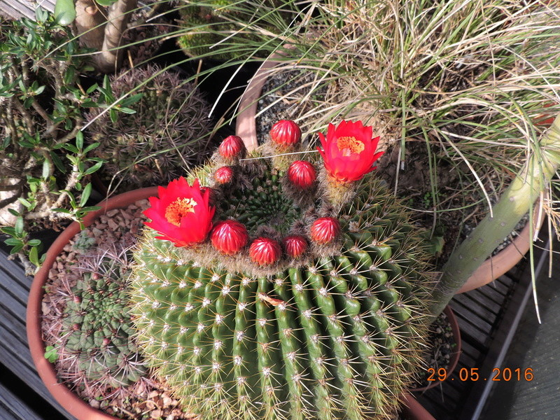 Cacti and Sukkulent in Köln, every day new flowers in the greenhouse Part 157 Bild1281