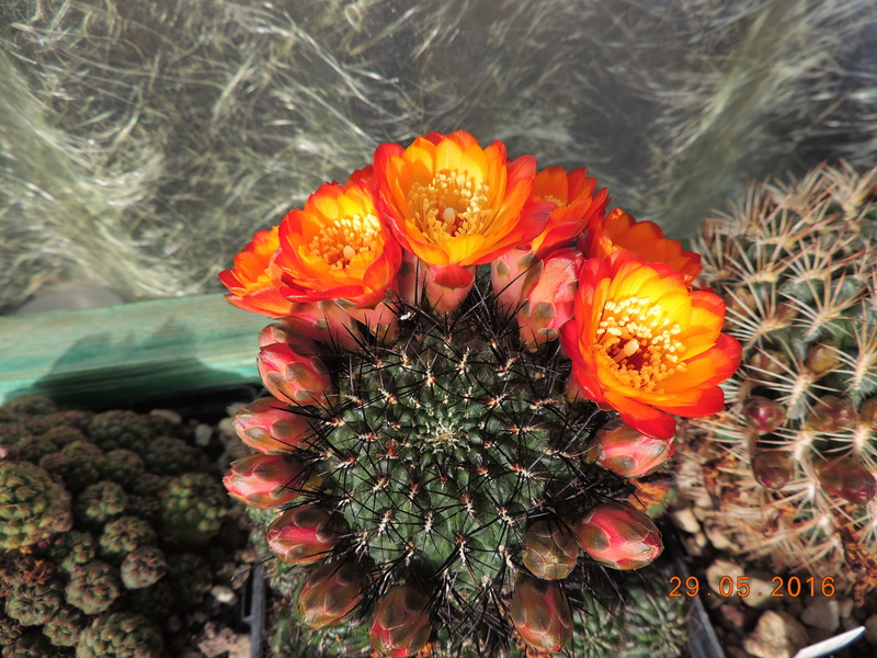 Cacti and Sukkulent in Köln, every day new flowers in the greenhouse Part 157 Bild1283