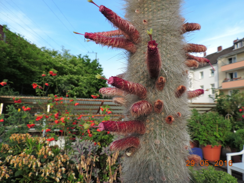 Cacti and Sukkulent in Köln, every day new flowers in the greenhouse Part 157 Bild1285