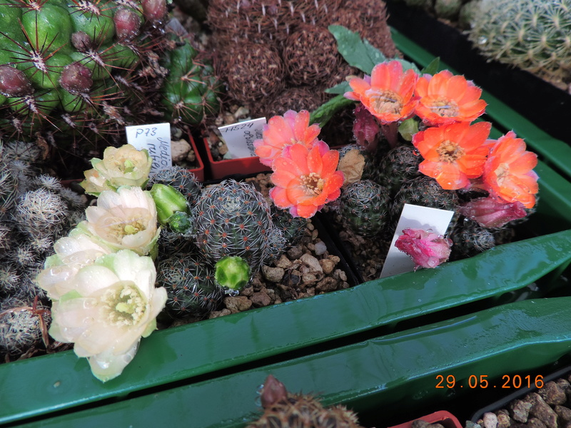 Cacti and Sukkulent in Köln, every day new flowers in the greenhouse Part 157 Bild1286
