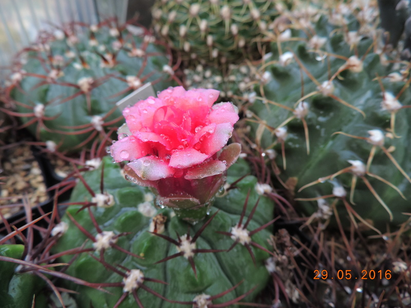Cacti and Sukkulent in Köln, every day new flowers in the greenhouse Part 157 Bild1288