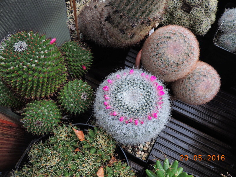Cacti and Sukkulent in Köln, every day new flowers in the greenhouse Part 157 Bild1289